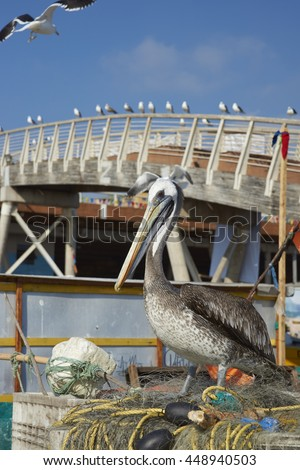 Peruvian Pelican (Pelecanus thagus) standing on a pile of old fishing nets at the fish market in the UNESCO World Heritage port city of Valparaiso in Chile.