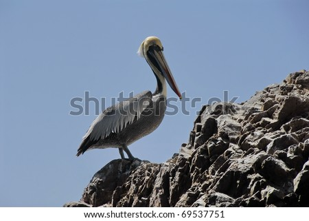 Peruvian pelican waiting for the company on Islas Ballestas