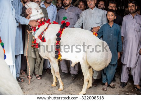 PESHAWAR, PAKISTAN, 23 Sep 2015: Vendor selling healthy sheep 200-250 kg sheep for  Eid adha , a buyer is stand and taking self with Sheep people are just visit to see the beautiful sheeps.