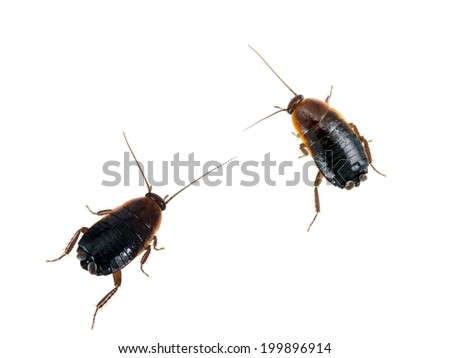 Pests!Two common black cockroaches, roaches isolated. Blatta orientalis. - stock photo