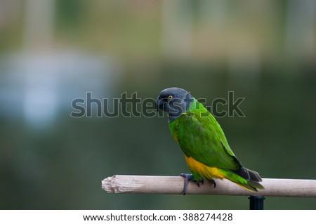 pet bird on a perch - stock photo