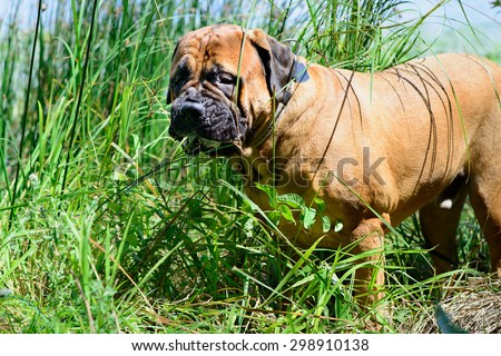 Pet bullmastiff dog near the river eats grass
