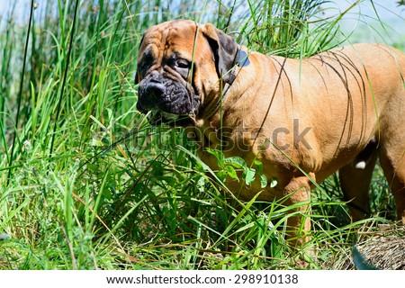 Pet bullmastiff dog near the river eats grass - stock photo