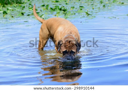 Pet bullmastiff dog swim in the river and drink water - stock photo