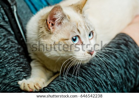 pet, cat or small kitten, domestic animal with blue eyes, whiskers and fluffy, furry coat sitting in human arms on blurred background. Pet care and veterinarian