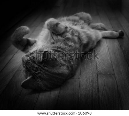 Pet Cat Reclined - stock photo