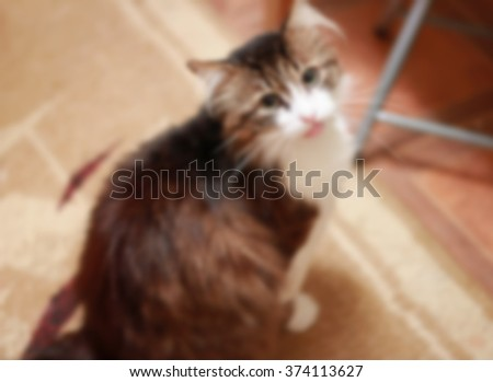 pet cat sitting in a room and looking into the camera, blurred for background