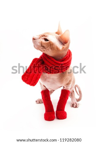 pet cat sphinx warm with red scarf and socks - stock photo