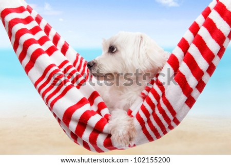 Pet dog relaxing in a soft red and white hammock by the beach - stock photo