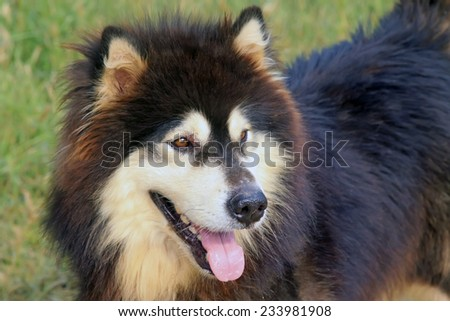 Pet dogs - husky, closeup of photo - stock photo