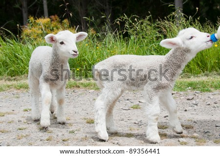 Pet Lambs feeding - stock photo