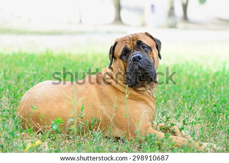 pet large red dog bullmastiff  lying on the green grass