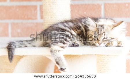 pet of siberian cat, brown version - stock photo