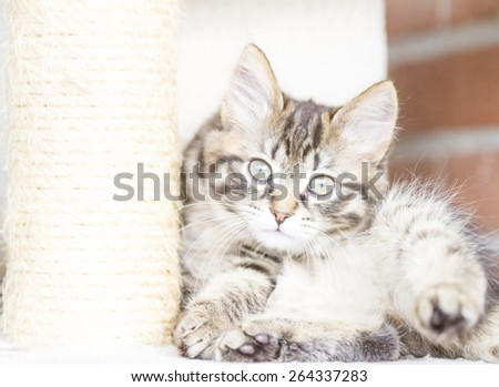 pet of siberian cat, brown version