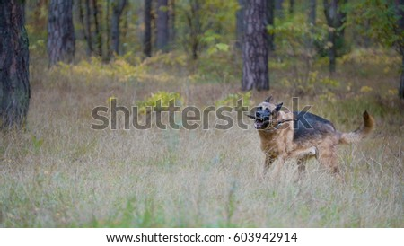 big german shepherd dog pet autumn stock photo 603942929 shutterstock. Black Bedroom Furniture Sets. Home Design Ideas