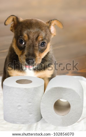 Pet's toilet training - Little toy terrier puppy learning its toilet place sitting with two rolls of toilet paper looking at camera - selective focus on the paper and dog's muzzle - stock photo