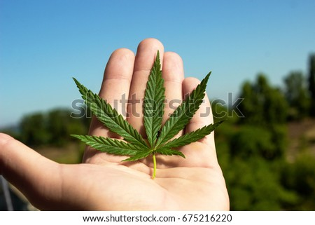 Petal of hemp in the palm of the palate against the sky