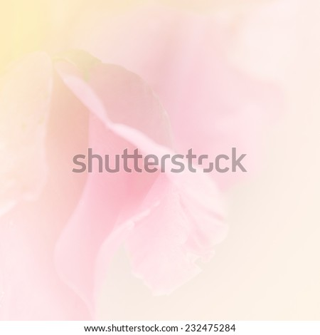Petal of rose in soft style may use for background. Rose flower background. - stock photo