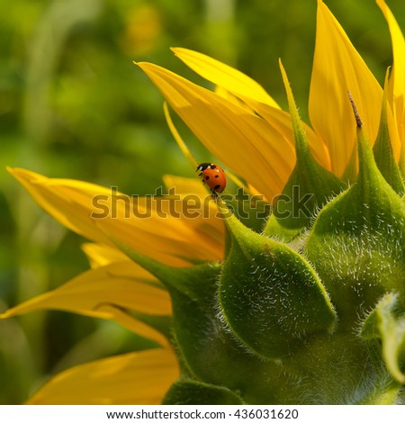 petals of a blooming sunflower and ladybird - stock photo