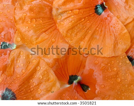 Petals of a poppy with drops of water after a rain