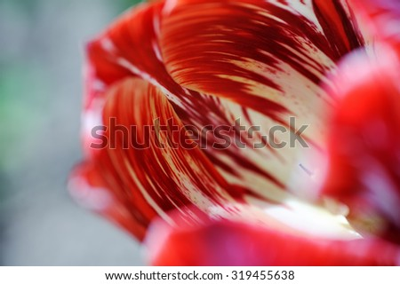 Petals of red, white and orange tulips macro / small depth of fi - stock photo