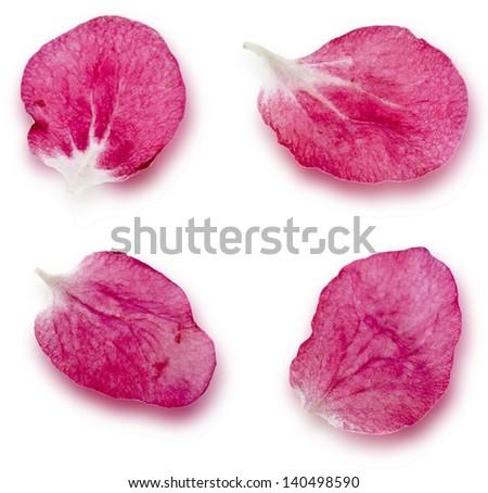 Petals of sakura close up extreme macro shot set isolated  on a white background - stock photo