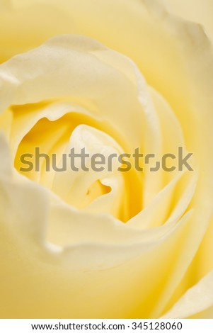 petals white rose as a background. macro - stock photo