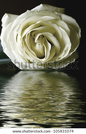 petals white rose lays on floating in water reflection - stock photo