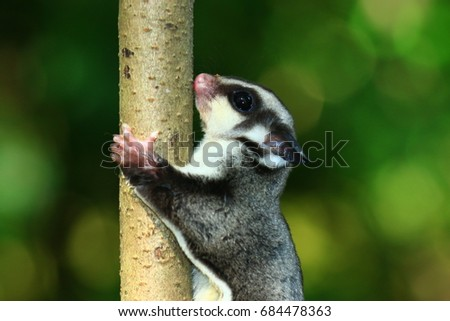 Petaurus breviceps (Sugar glider Special pet)
