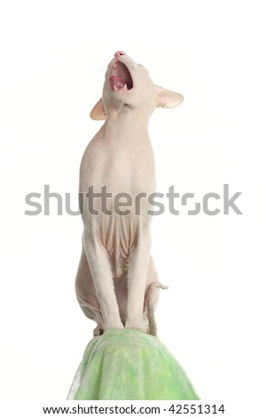 Peterbald hairless cat on the green sofa - stock photo