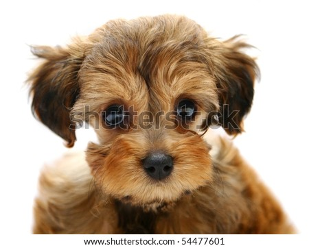 Petersburg orchid puppy on a white background