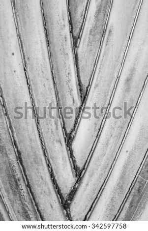 Petiole pattern of Traveller Palm black and white. - stock photo
