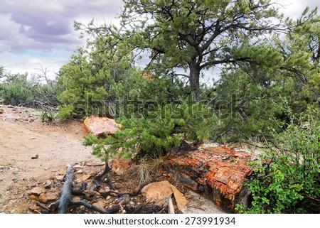 Petrified tree trunk under a pine tree.  Escalante Petrified Forest State Park, Utah - stock photo