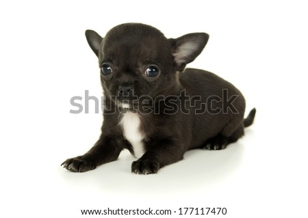 Pets allowed Chihuahua puppy black - stock photo