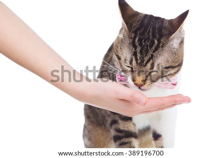Pets Care.Young woman holding cat home.Cute cat eating from on woman's hand in home.Friendship.Love.Cat Eating from owner Hand on white background. - stock photo