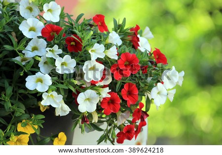 Petunia flowers in summer garden - stock photo