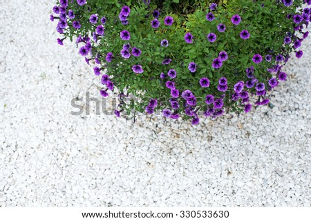petunia flowers in the garden view from above - stock photo
