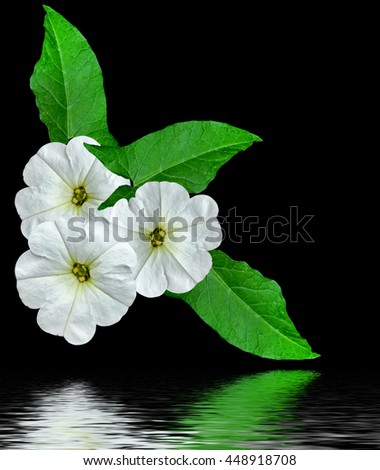 petunia flowers isolated on black background. bright flower - stock photo