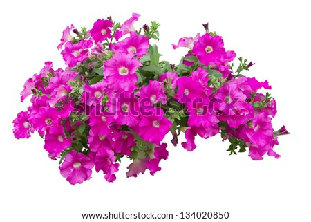 petunia flowers isolated with clipping path included - stock photo