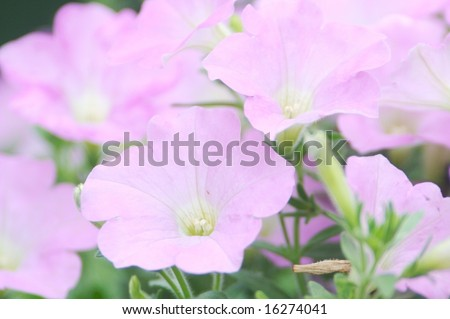 Petunia Garden close shot - stock photo
