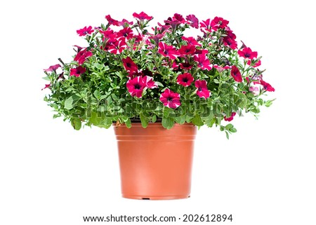 Petunia in a flowerpot isolated on white background - stock photo