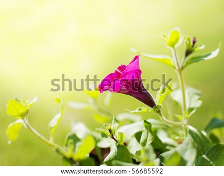 Petunia in spring time - stock photo