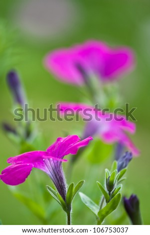 Petunia - macro shot, floral background