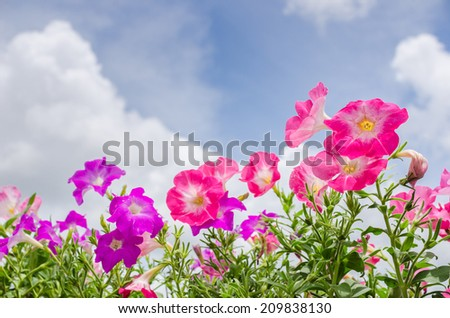 Petunia or Petunia Hybrida Vilm in the garden or nature park - stock photo