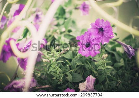 Petunia or Petunia Hybrida Vilm in the garden or nature park vintage - stock photo