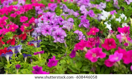 Petunias flowers in different colors in garden for natural background