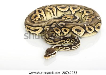 Pewter Ball Python (Python regius) on white background. - stock photo