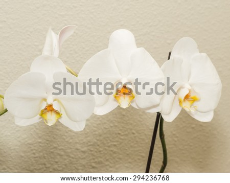 Phalaenopsis aphrodite is a species of orchid found from southeastern Taiwan to the Philippines. - stock photo