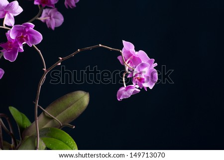 Phalaenopsis beautiful flowers on a black background - stock photo