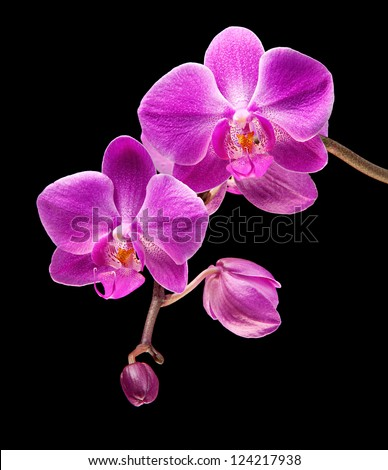 Phalaenopsis. Colorful pink orchid on black background - stock photo